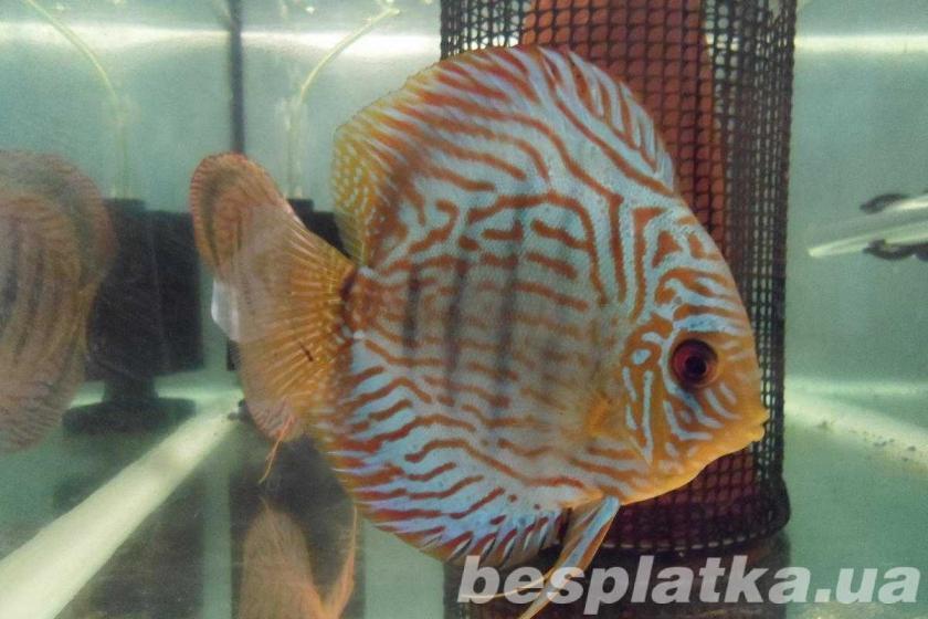 Фото 9 - Аквариумные рыбки оптом и в розницу, в наличии и под заказ