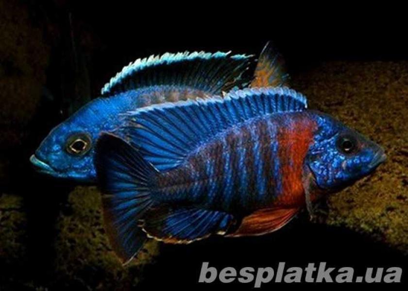 Фото 7 - Аквариумные рыбки оптом и в розницу, в наличии и под заказ