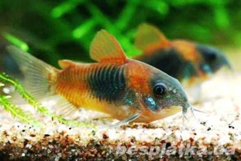 Фото 10 - Аквариумные рыбки оптом и в розницу, в наличии и под заказ