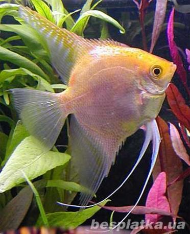 Фото 3 - Аквариумные рыбки оптом и в розницу, в наличии и под заказ