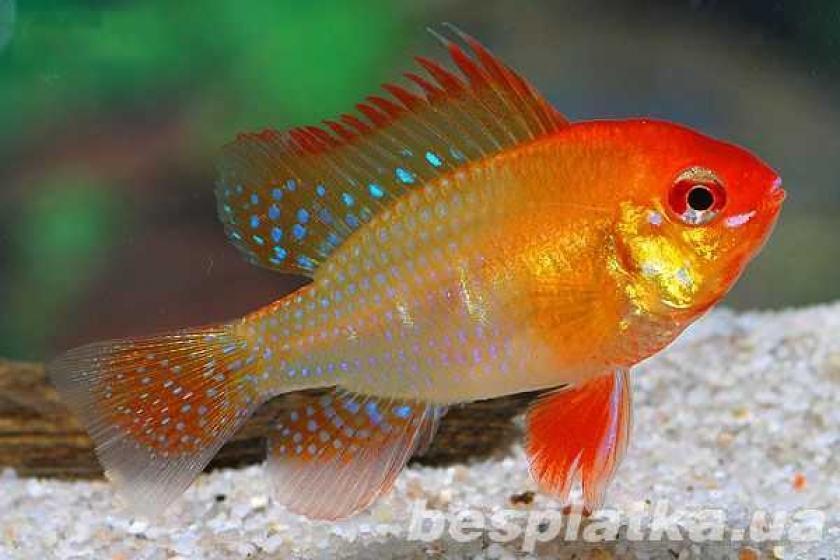 Фото 8 - Аквариумные рыбки оптом и в розницу, в наличии и под заказ