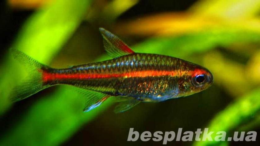 Фото 4 - Аквариумные рыбки оптом и в розницу, в наличии и под заказ