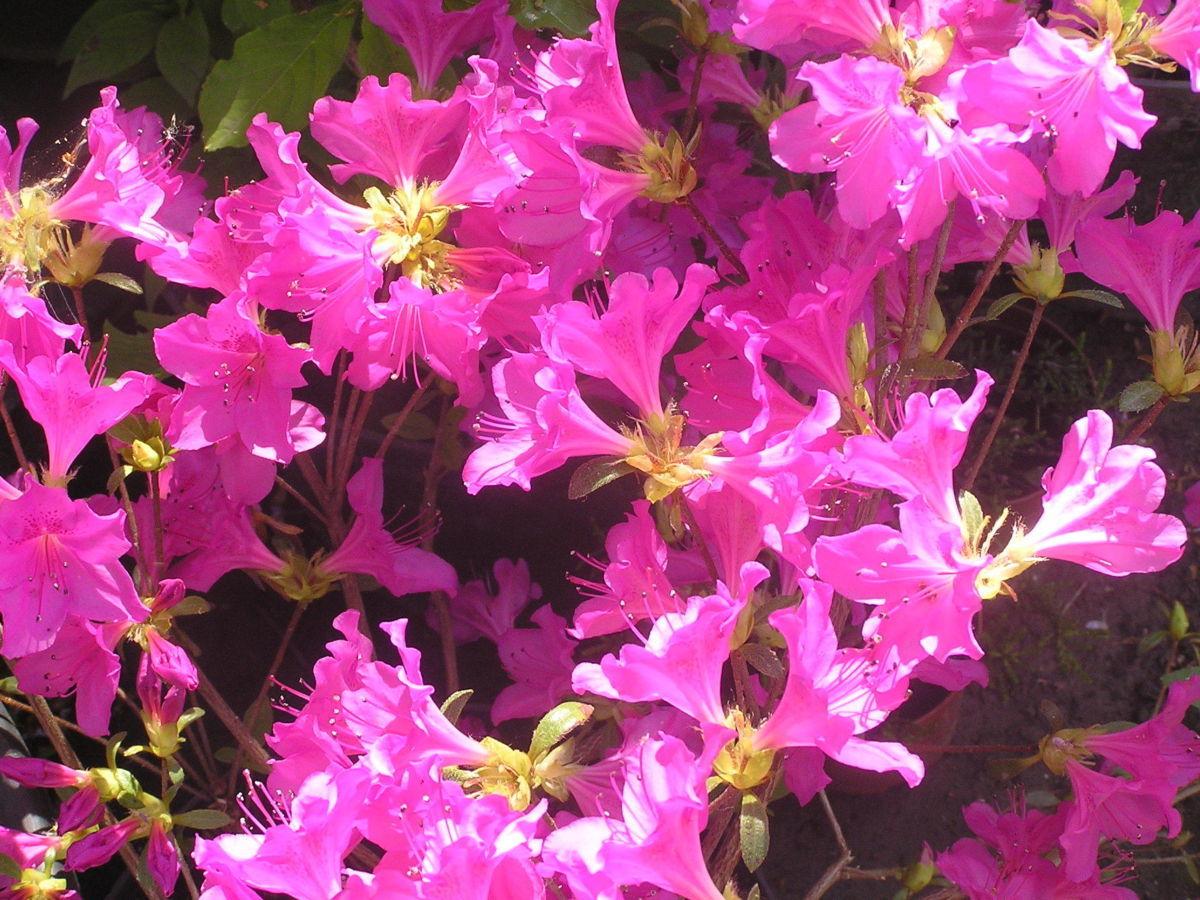 Рододендрон туполистный сиреневого, белого, розового,красного цвета