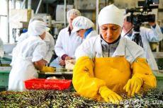 В Польшу на работу нужны рабочие по сортировке оливок