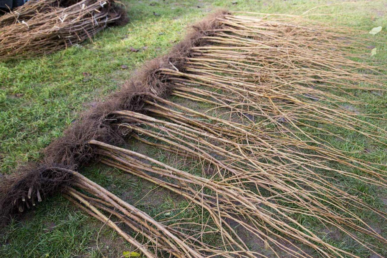Саджанці фундука з відкритою кореневою системою