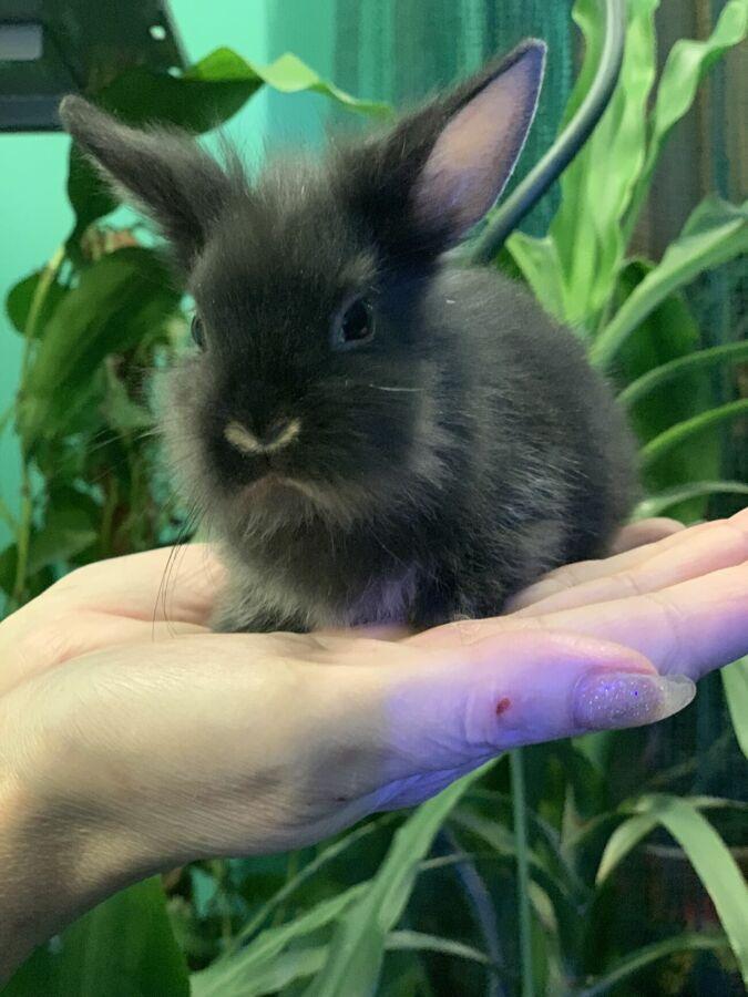 Продаются декоративные чистокровные, породистые крольчата