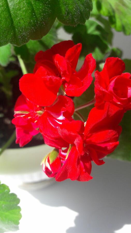 Герань цветущий куст