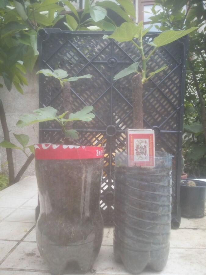 Вегетирующие саженцы инжира  и чая