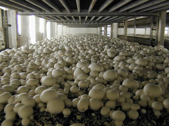 Грибница шампиньона - высылаю семена грибов от производителя!