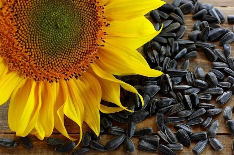 Мир сорт подсолнечника семена