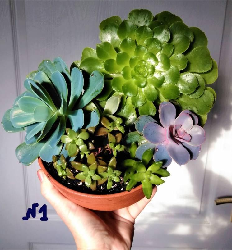 Эхеверия суккулент кактусы