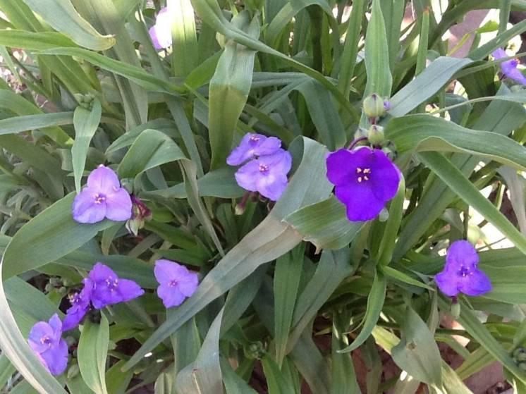 Цветы моего сада : традесканция уличная