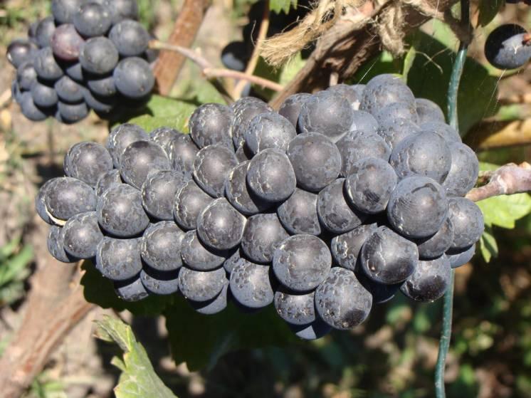 Продажа саженцев винного французского винограда Пино Нуар.