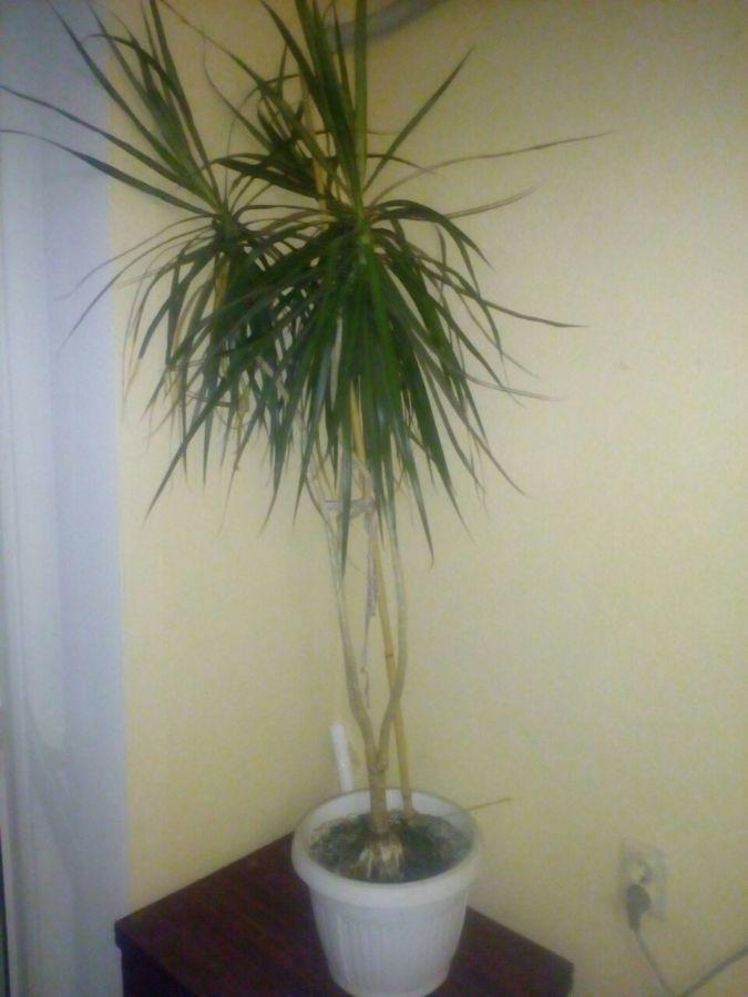 Продам пальму винтовую