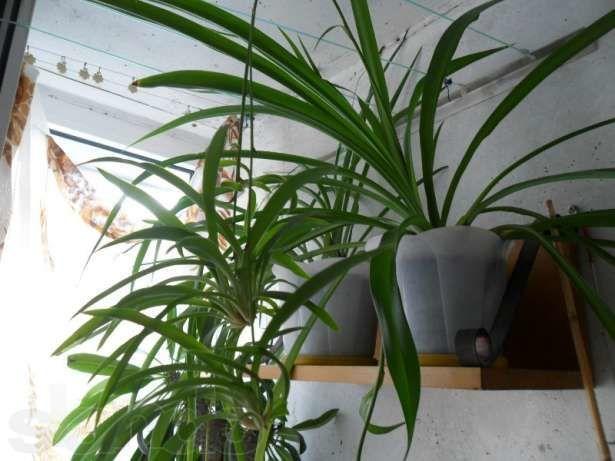 Самое полезное и неприхотливое комнатное растение.Хлорофитум.