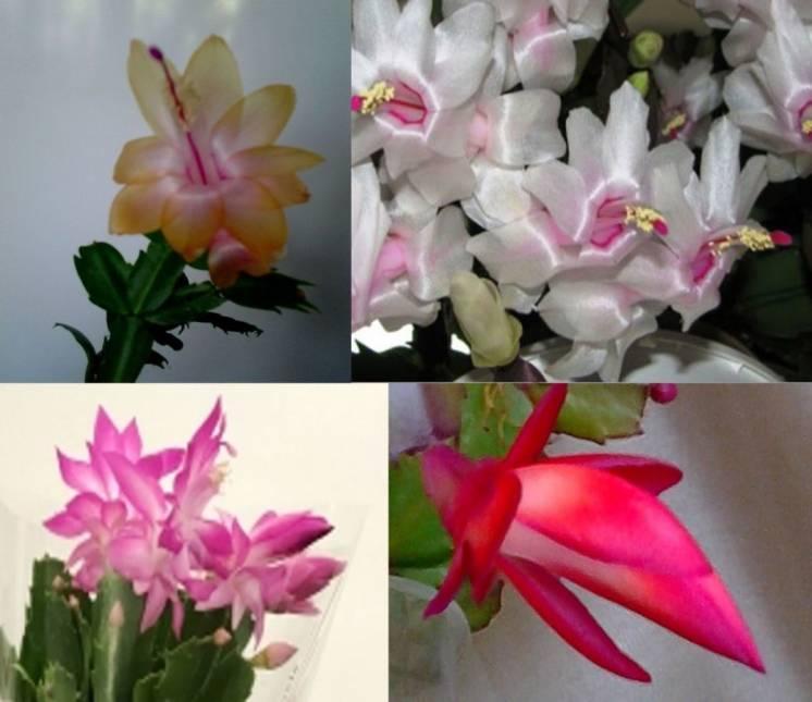 шлюмбергера  белая, желтая,алая, розовая