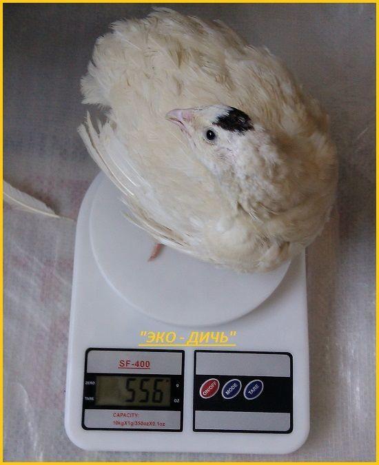 Яйца инкубационные перепела Белый Техасец - бройлер (США Texas A & M).