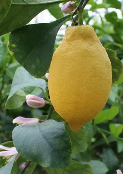 Лимоны саженцы