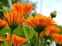 Смесь семян календулы оранжевой