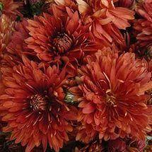 Хризантема (часть взрослого куста ). Цвет красный