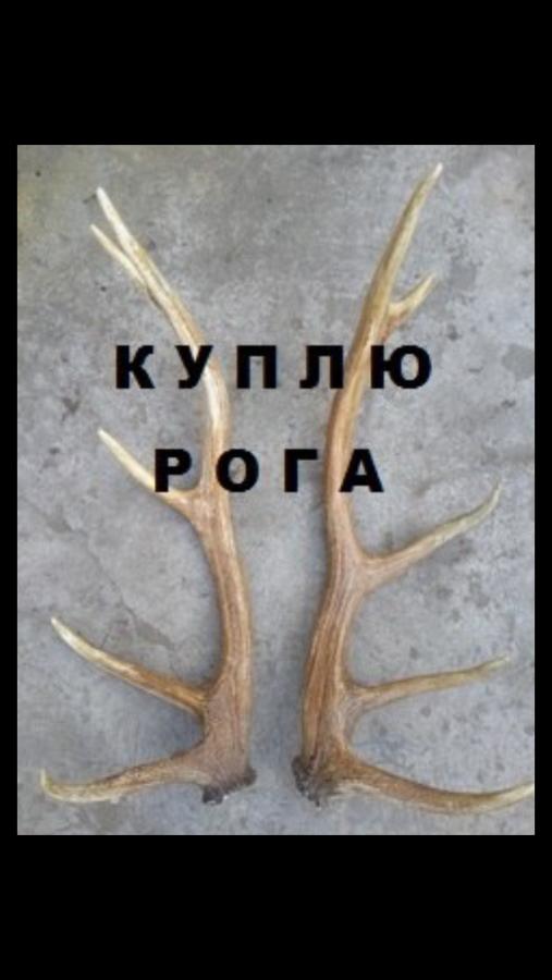 Куплю рога оленя-лося-сайгака!