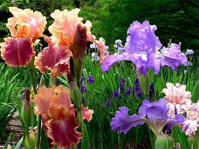 Дешево ирисы супер красивых расцветок !