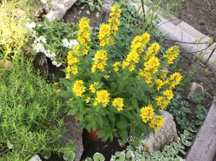 Цветы моего сада: вербейник