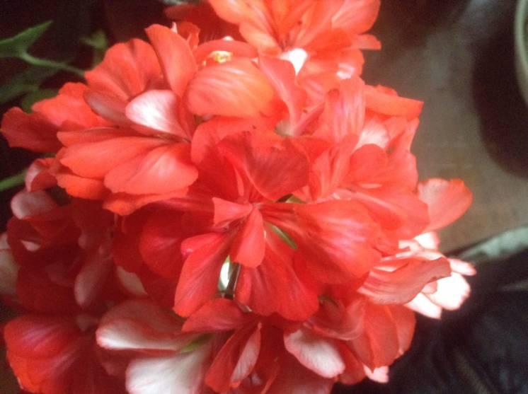Герань пеларгония Orange