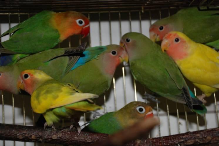 Попугайчики любви - неразлучники