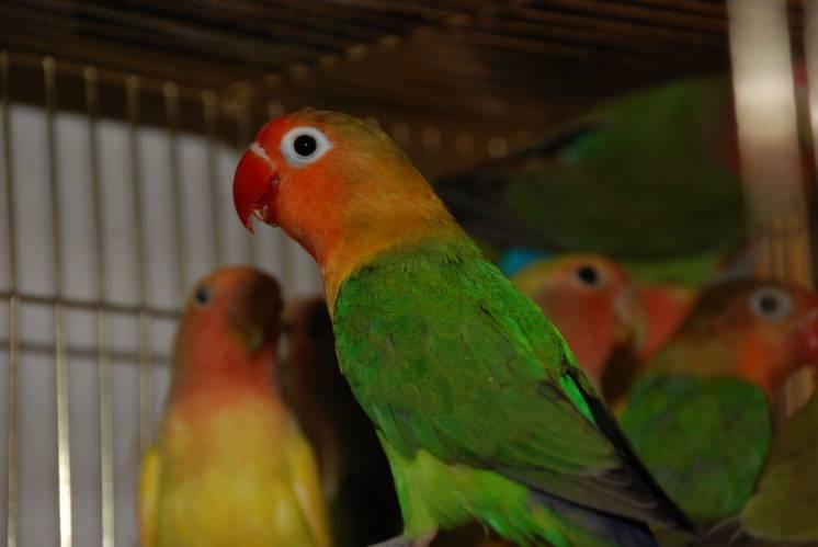 Очаровательные попугайчики неразлучники разных видов