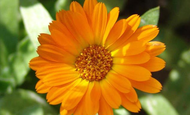 календула семена
