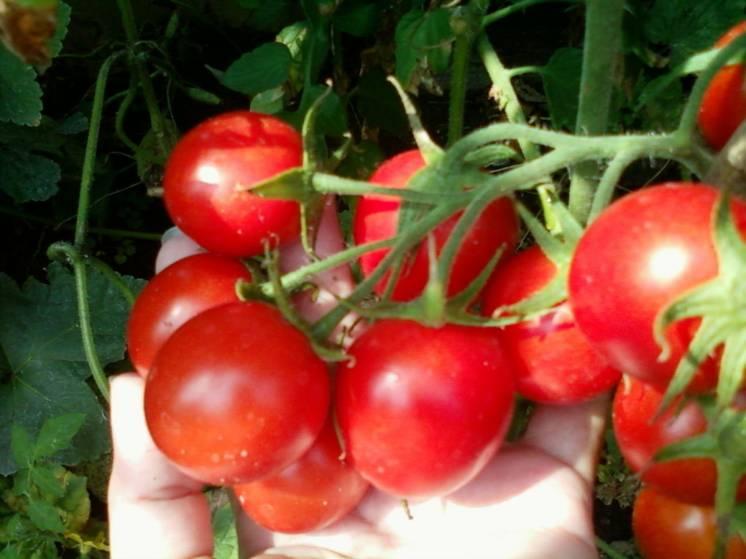 помидор черри семена