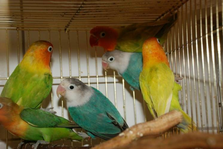 Романтический попугай неразлучник, редкие окрасы, пары