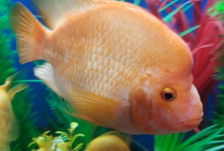 Рыбки . Цитроновая цихлазома, Лабиатум, Фортуна. 15 см