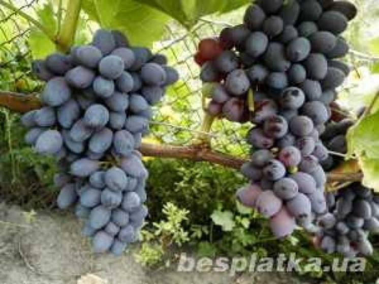 Продам черенки столового винограда