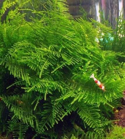 Мох анчер  аквариумные растения
