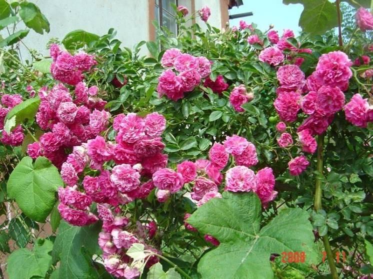 Продам дёшево кусты роз!