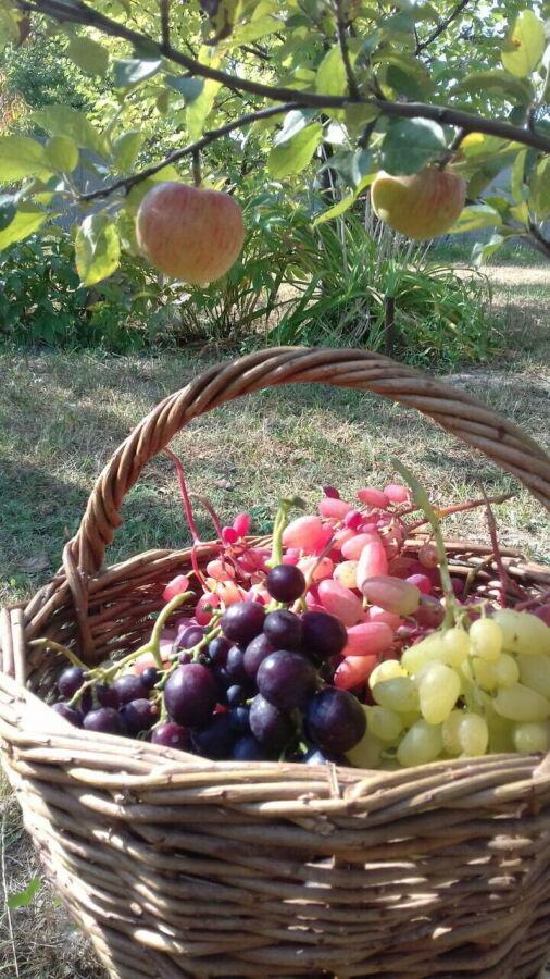 Продаю черенки и саженцы винограда столовых и технических сортов