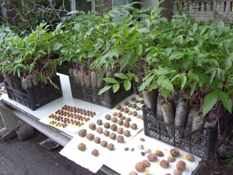 Саженцы ореха грецкого, широкий выбор.