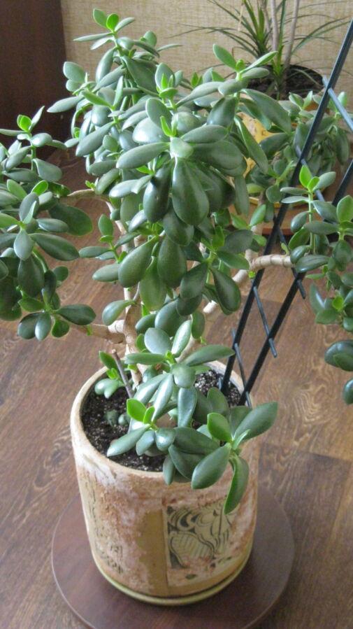 Денежное дерево в керамическом горшке