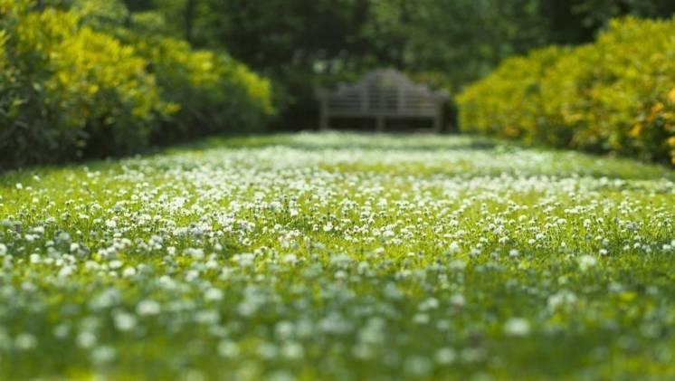 Газон Английский газонная трава с белым клевером