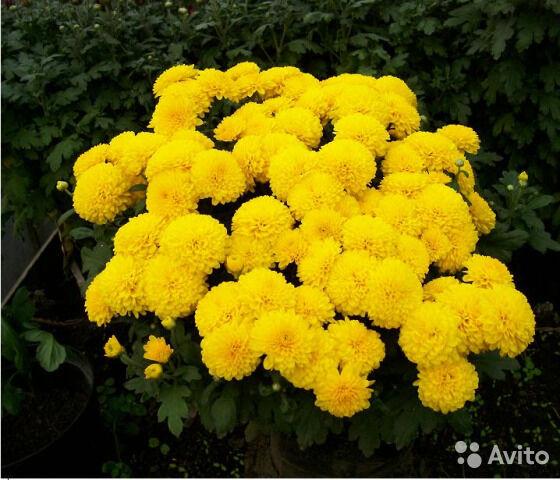 Хризантемы разные рассада