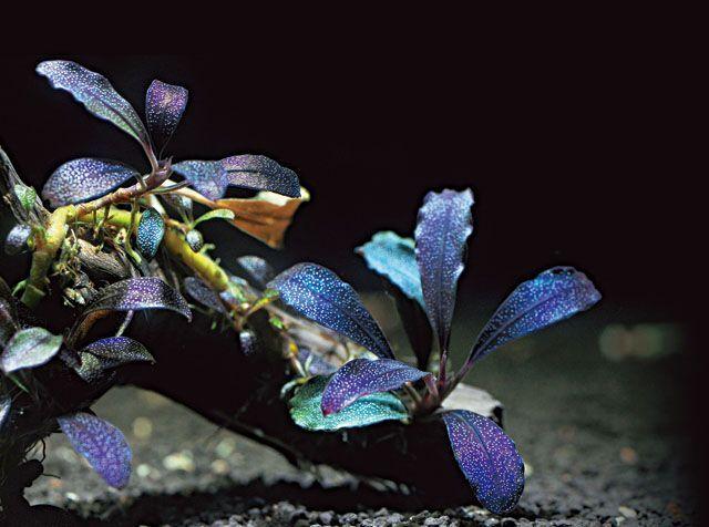 Буцефаландра Brownie Purple  аквариумные растения