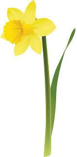 Нарциссы белые и жёлтые рассада