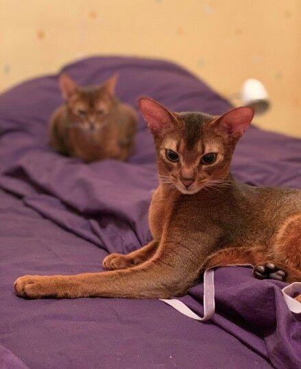 Элитные абиссинские котята дикого окраса. Сертификат CFA (США)