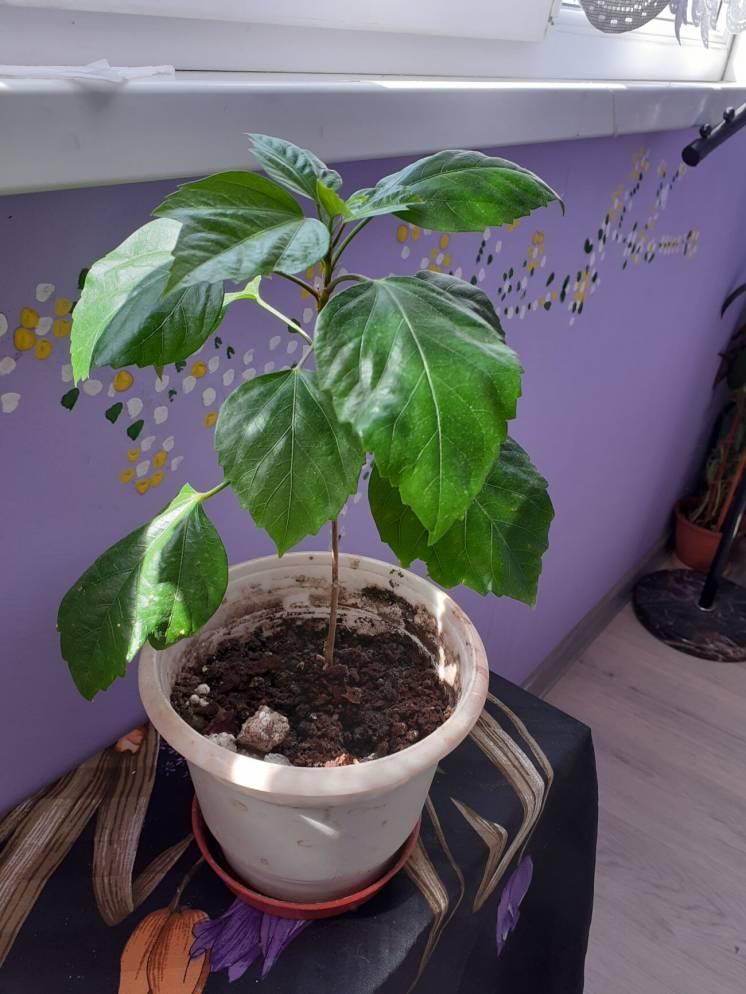 Гибискус-китайская роза-комнатное дерево