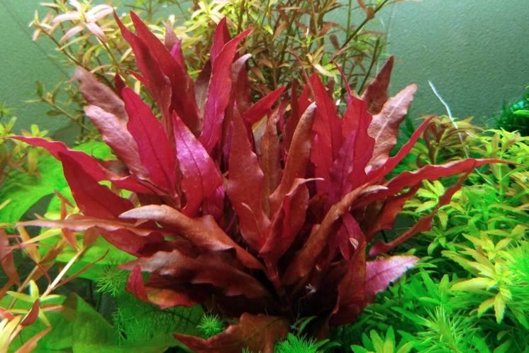 Альтернантера розовая(Alternanthera rosaefolia) аквариумные растения