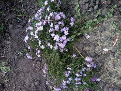 Цветы почвопокровные. Сейчас цветут!!!