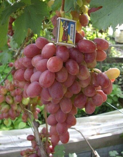 саженцы элитных сортов винограда