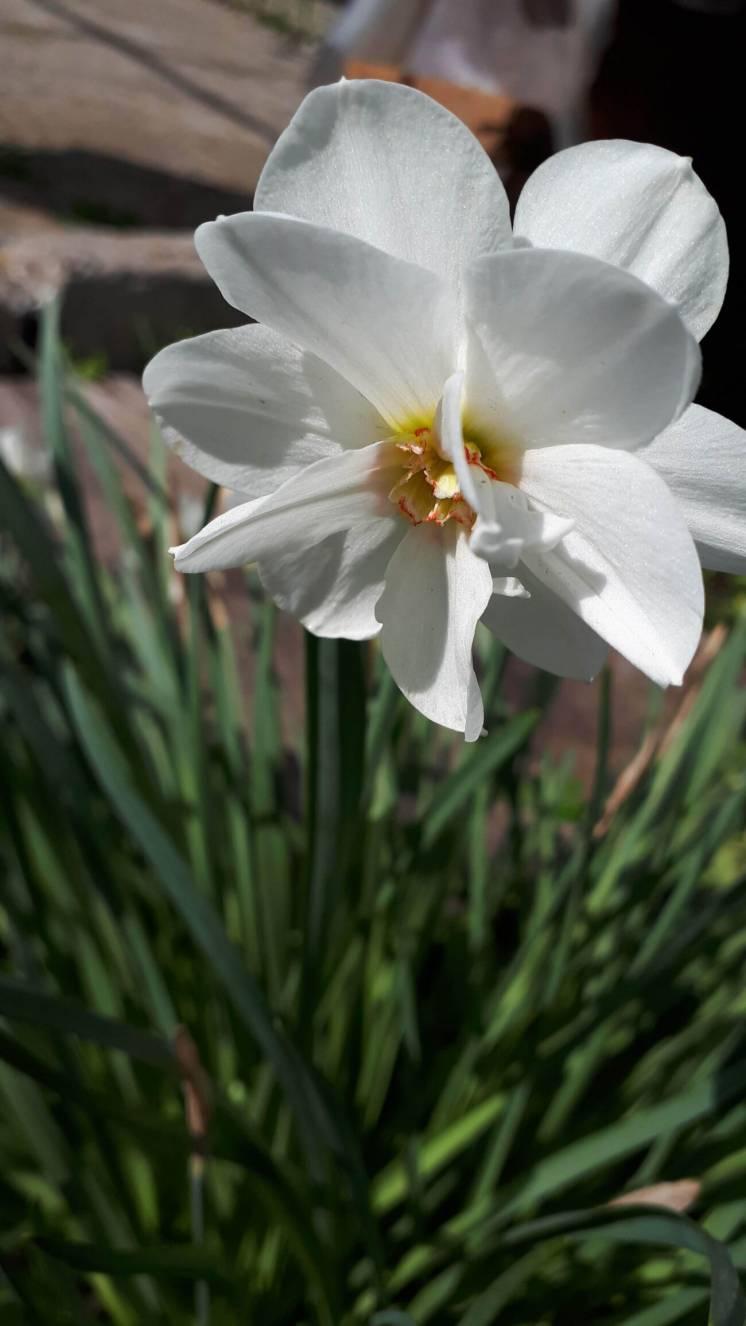 Нарцисс белый махровый «Акрополис»